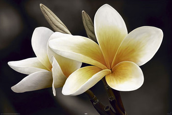 FRANGIPANI posters | art prints