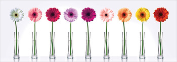 Gerbera Daisies  posters | photos | pictures | images