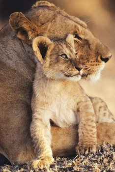 LIONESS AND CUB  posters | art prints