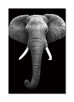 African Elephant (B&W) Obraz