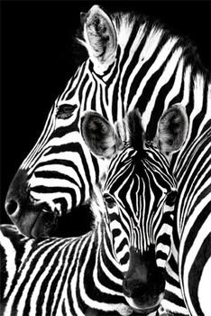 Zebra pósters | láminas | fotos