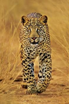 Leopard Poster, Art Print
