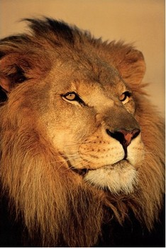 LION - close up posters | art prints