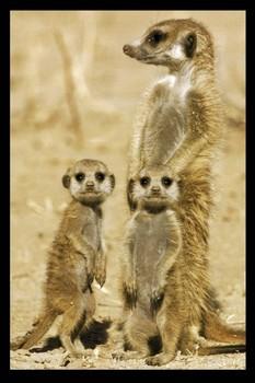 Meerkats Poster, Art Print