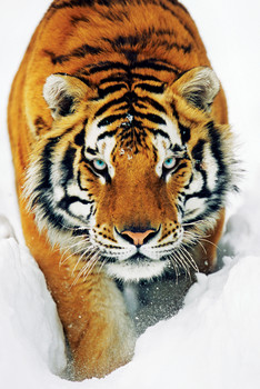 Tiger in the snow Poster, Art Print