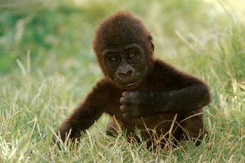 Plakat Gorilla baby
