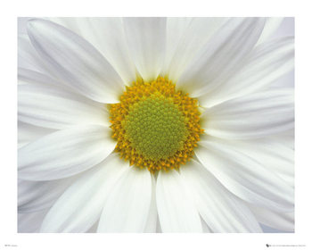 Plakat Kwiaty - Stokrotka 2