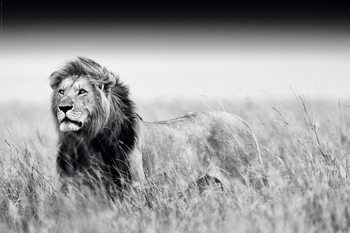 Plakat Lion - Black & White
