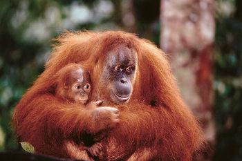 Plakat Orangutan mother baby