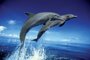 Dolphins - leap Poster, Art Print