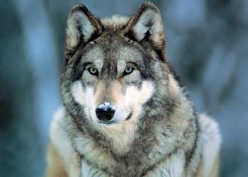 Grey wolf Poster, Art Print