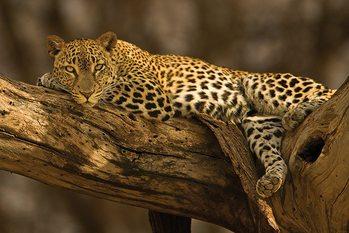 Leopard - tree Poster, Art Print