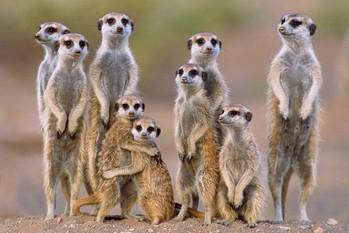 Meerkats - family Poster, Art Print