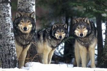 Wolves - 3 wolves Poster, Art Print