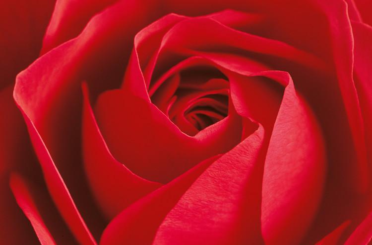 L´IMPORTANT C´EST LA ROSE Fototapeta