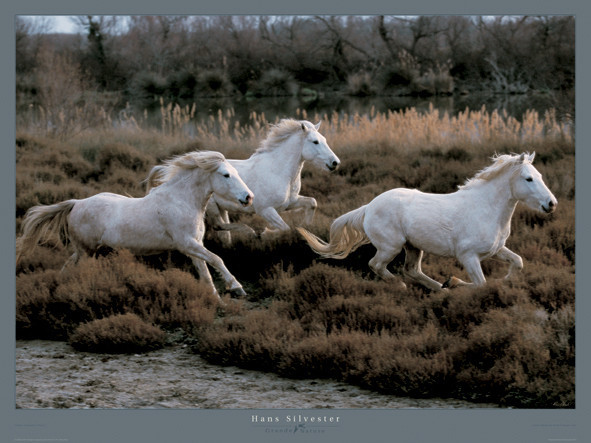 Reprodukcja Equus 3 - Camargue - France