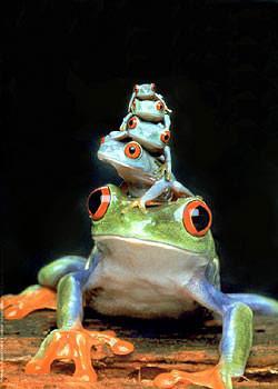Plakat Frogs - 5 frogs