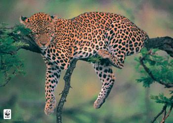 Plakat Leopard WWF - sleeping