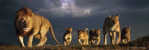 Plakat Lions pride - steve bloom