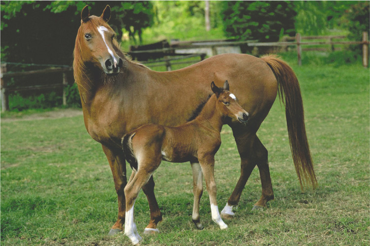 Plakat Mare and foal