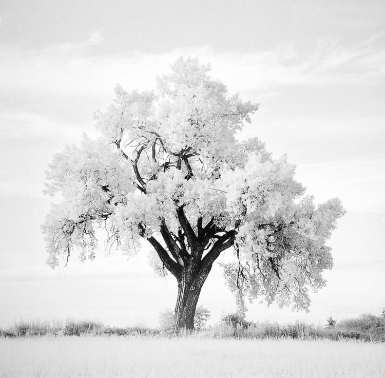 Reprodukcja Oak Tree