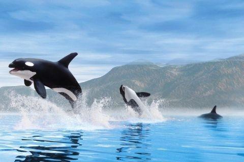 Plakat Orca whales