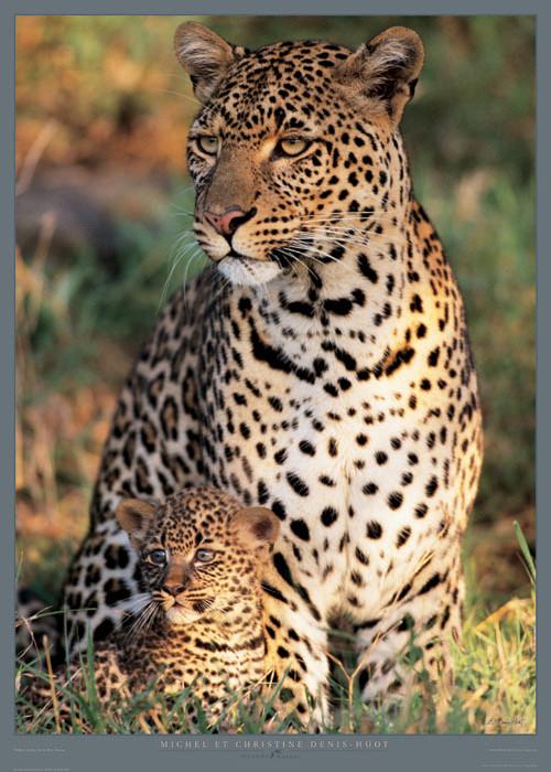 Reprodukcja Panthera pardus - Masa? Mara - Kenya