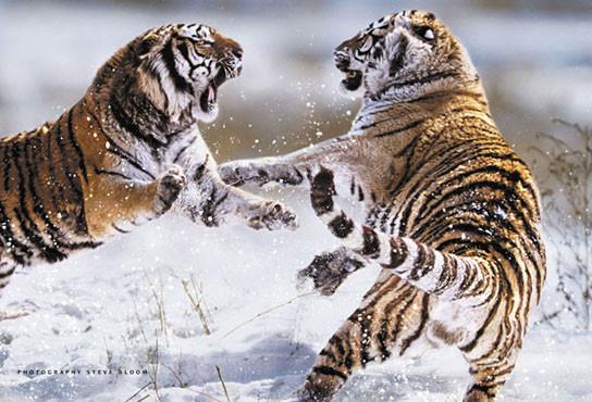 Plakat Siberian tigers