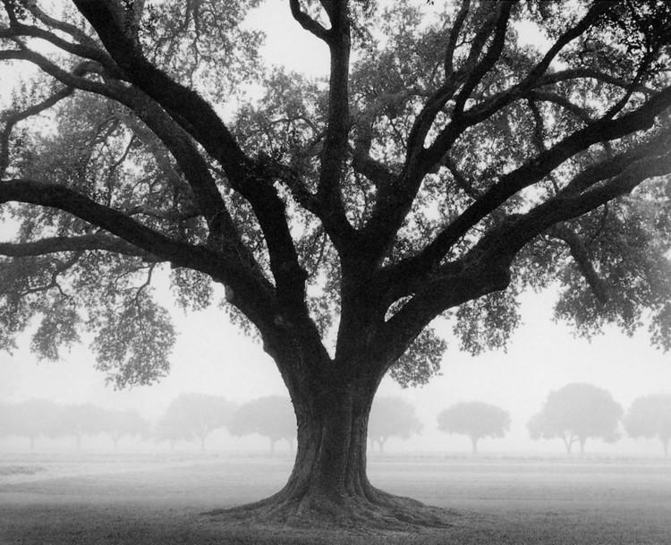 Reprodukcja Silhouette Oak