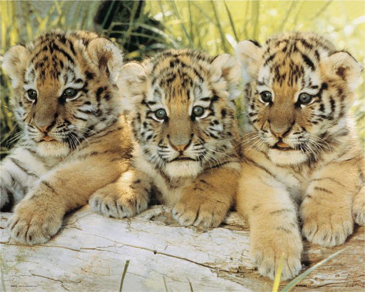 Plakat Tiger cubs