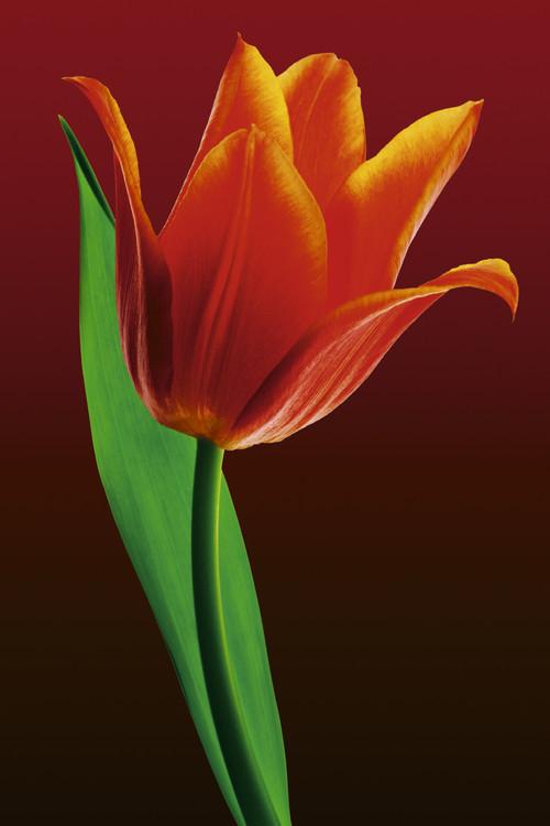 Plakat Tulip on red