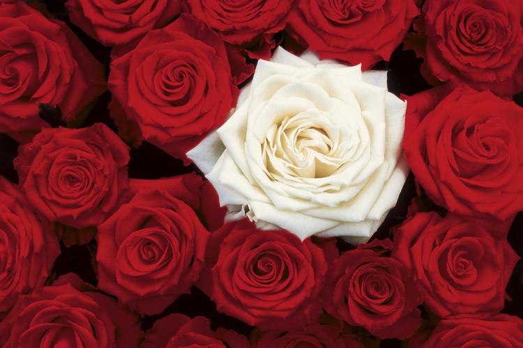 Подарить одну белую розу