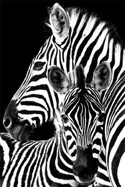Zebra Poster - EuroPosters
