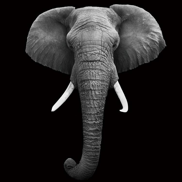 Obraz Elephant - Head b&w