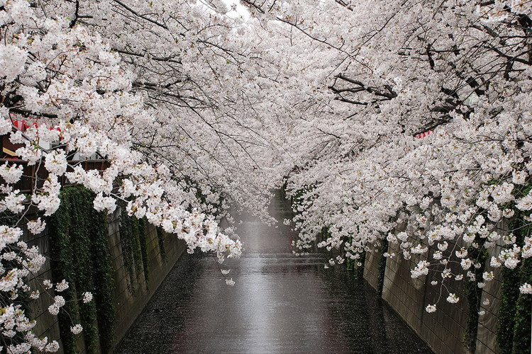 Obraz Path - White Blossoms