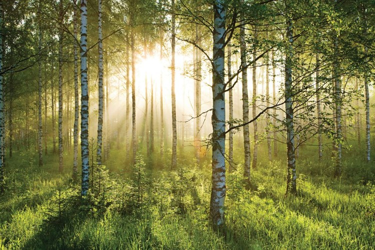 forest sunbeams wall mural buy at europosters