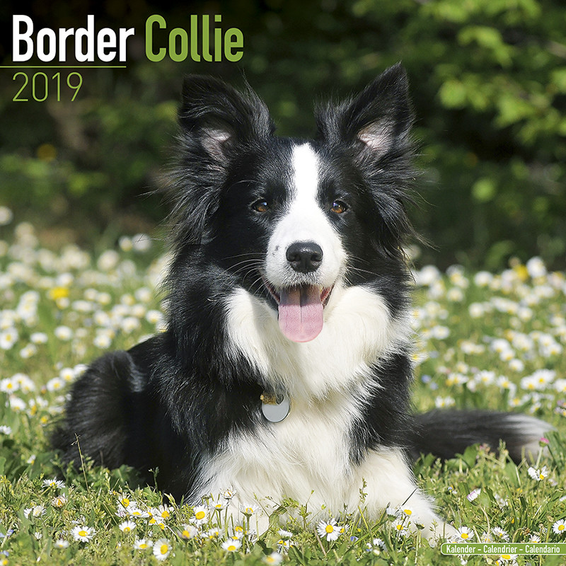 border collie calendars 2019 on ukposters europosters
