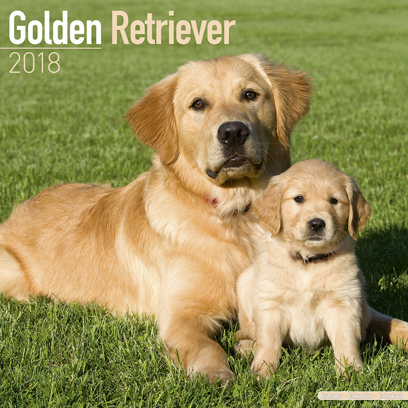 golden retriever calendars 2019 on ukposters europosters
