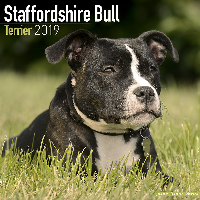 staffordshire bull terrier calendars 2019 on ukposters europosters