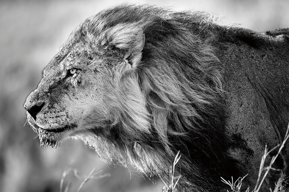 Wall Glass Art - Lion - Black And White Lion
