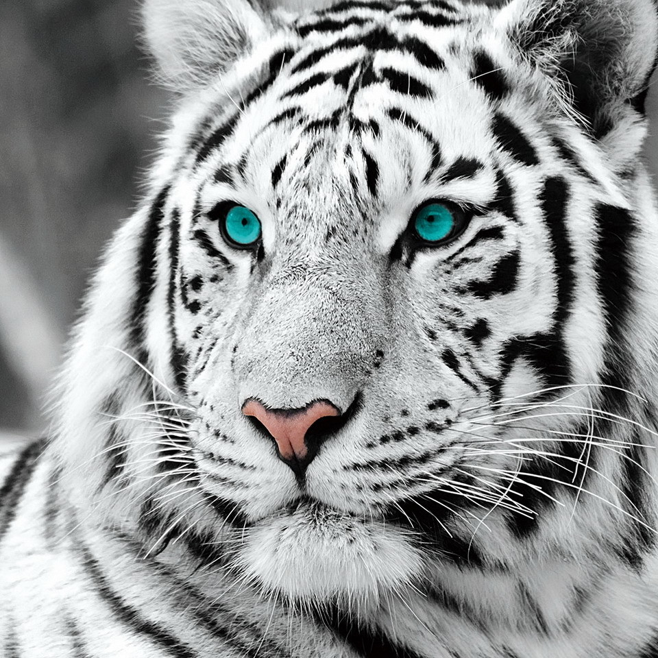 white tiger The symbolic tiger as a totem that corresponds to the great dao, the tiger holds numerous symbolic meanings: lung, breath, qi, respiration system, change, control.