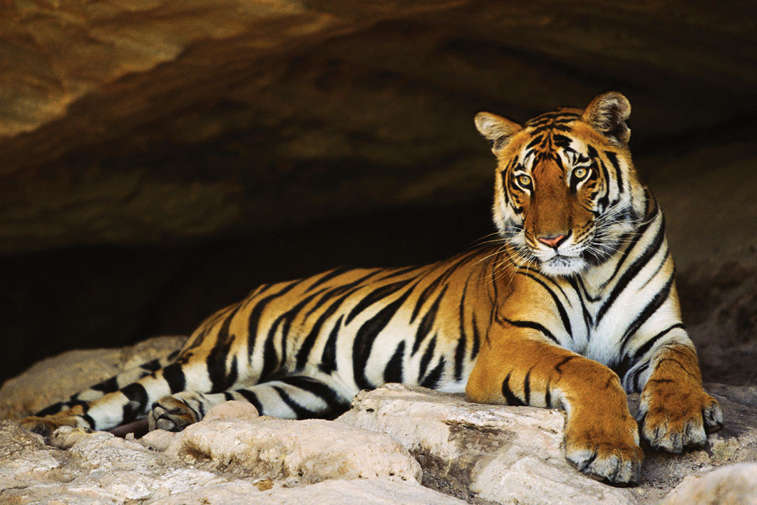 Tiger S Cave Poster Sold At Abposters Com