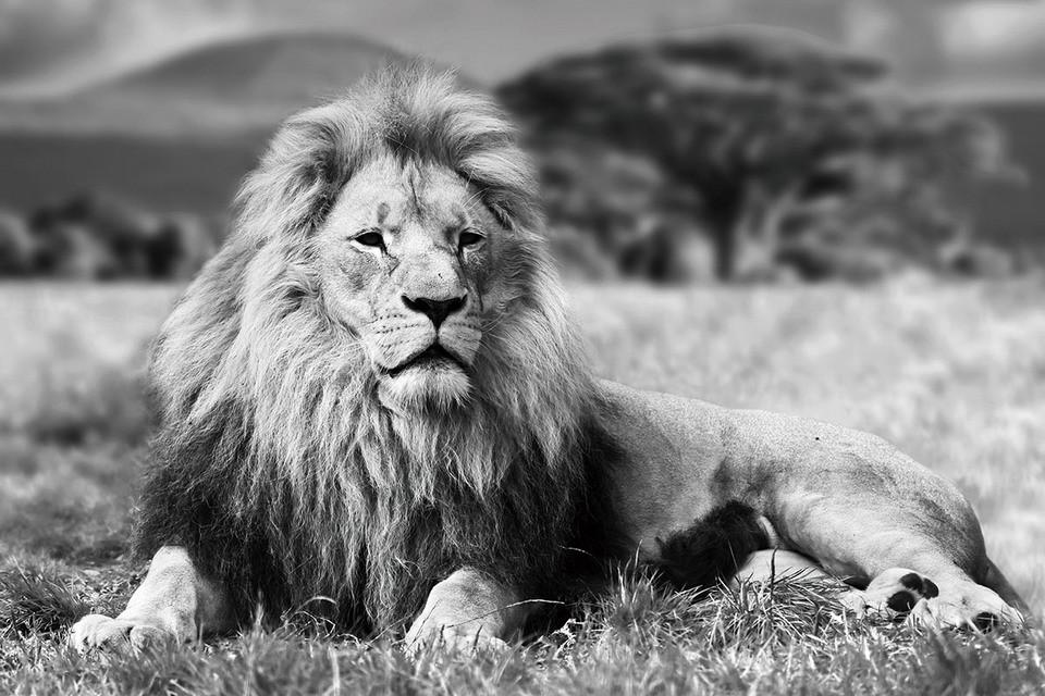 Quadro em vidro lion lying b w em europosters pt