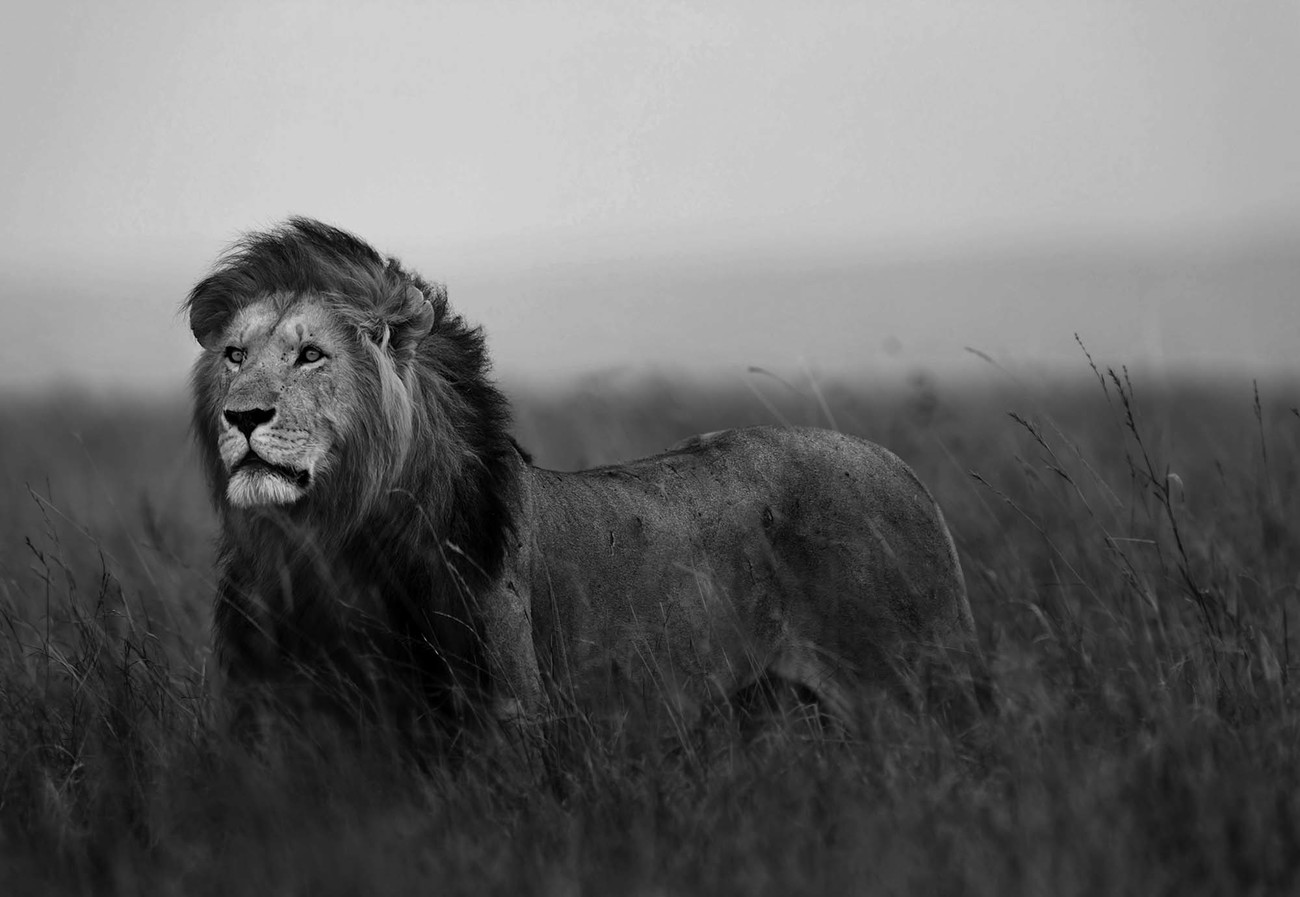 Black And White Lion Wall Paper Mural | Buy at EuroPosters