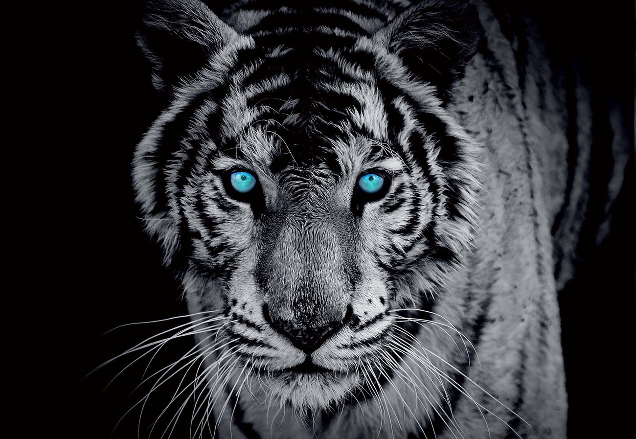 Black And White Tiger Blue Eyes Wall Paper Mural Buy At