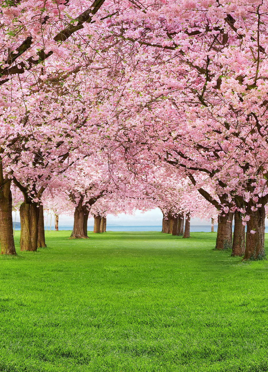 Cherry trees wall mural buy at europosters for Cherry tree mural