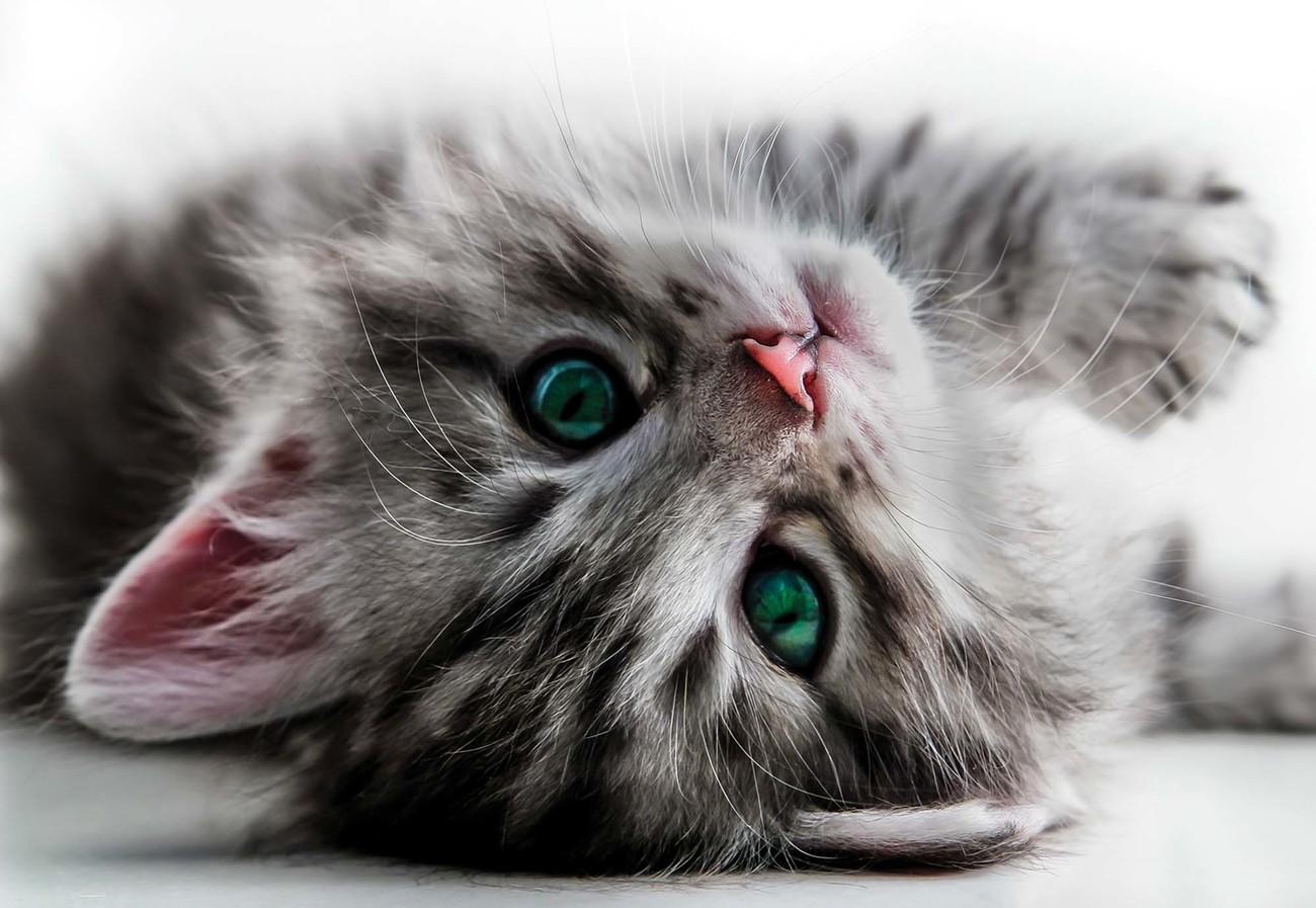 cute-kitten-416x254-cm-premium-non-woven-130gsm-i77094.jpg