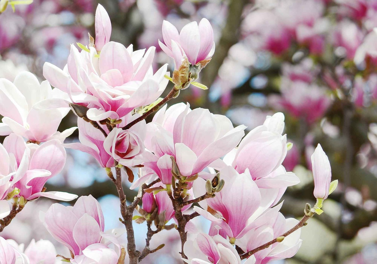 Magnolia flowers wall paper mural buy at europosters Mural of flowers