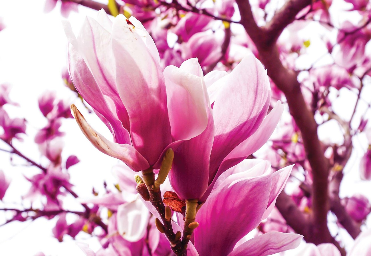 Magnolia Tree Wall Paper Mural Buy At Europosters