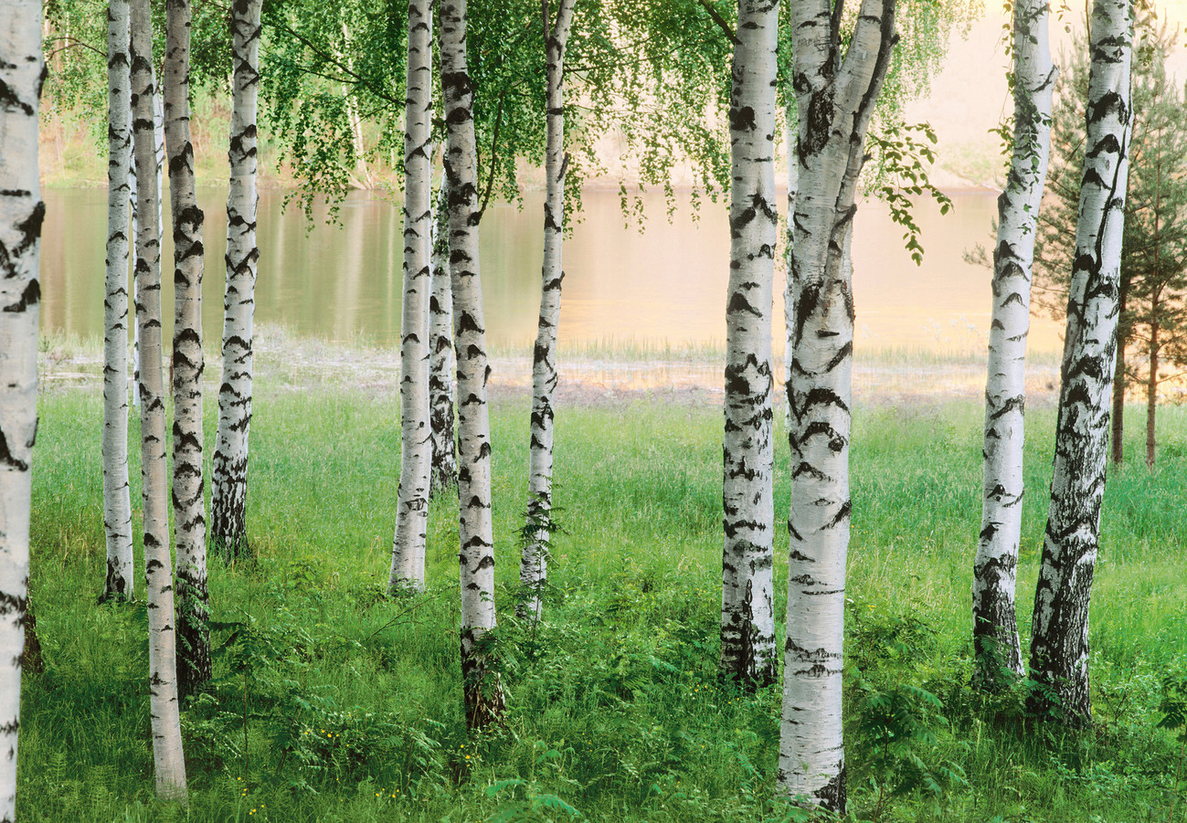 Nordic Forest Wall Mural Buy At Europosters